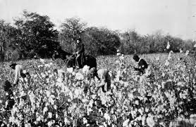 Slaves picking cotton in the fields.